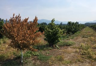 Managing Bacterial Blight in Young Hazelnut Orchards