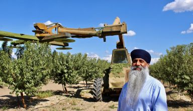 Jaswant Bal Prepares Second Leaf Almond Orchard for Winter