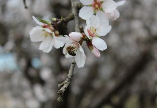 Almond Pollination and Hive Removal Timing