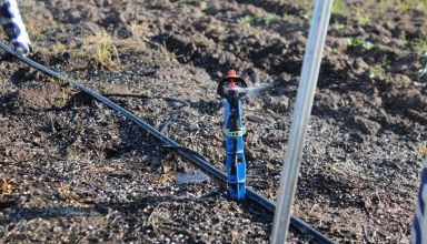 When to Start Irrigating Young Pistachios in a Wet Year
