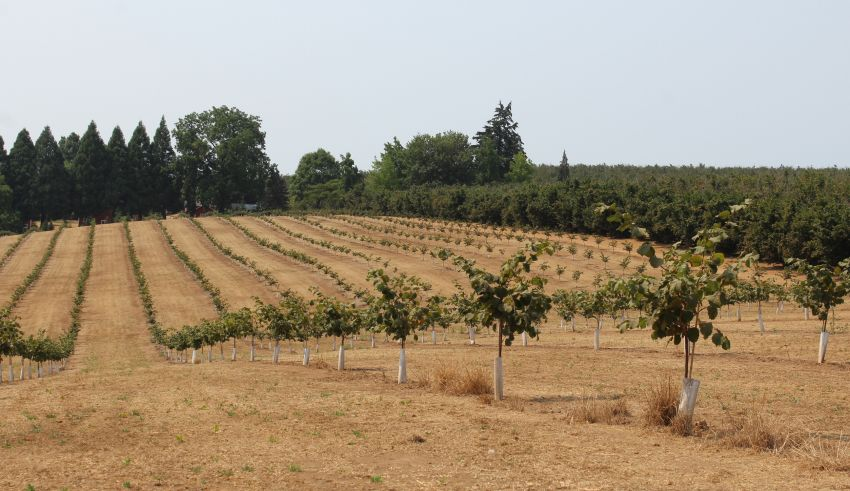 Nutritional Recommendations for Young Hazelnut Trees