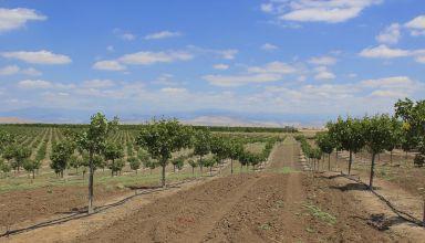 Record High Pistachio Acreage Planted in 2018