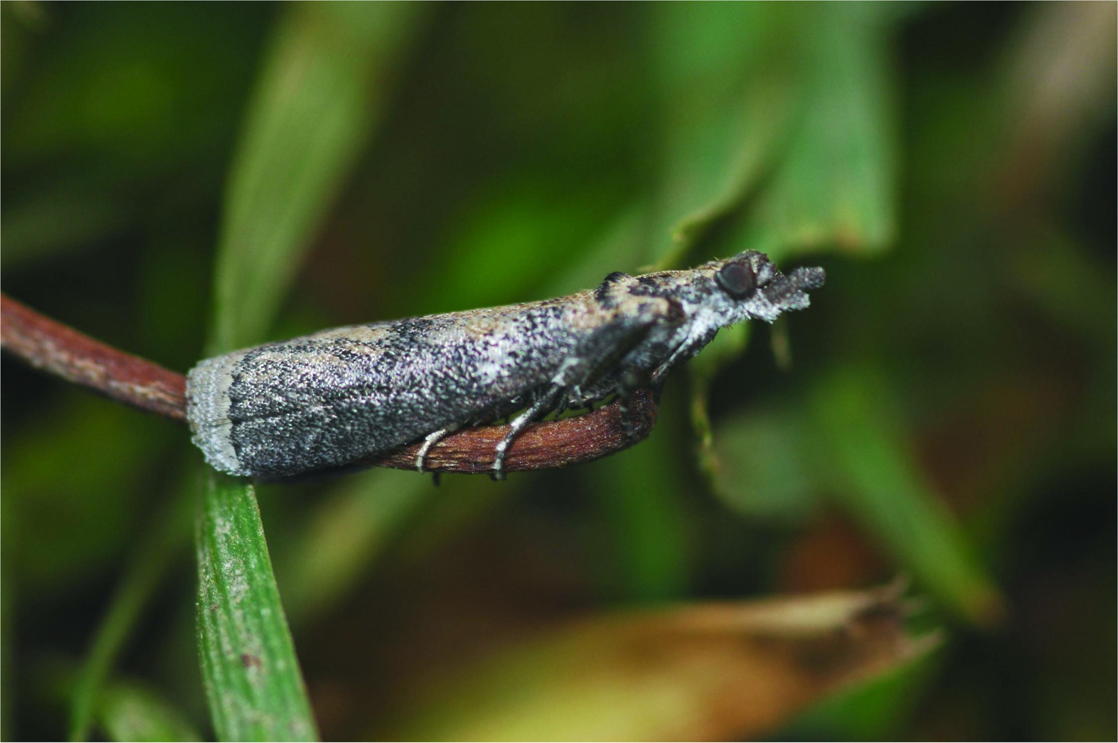 Concern for Navel Orangeworm Mating Disruption