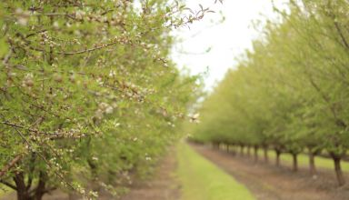 Almond Acreage increases