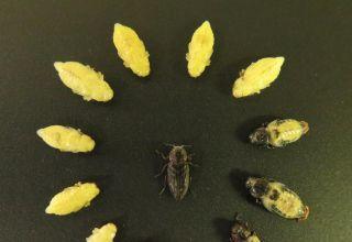 Hazelnut Pest Update