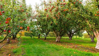 Weed Control in Orchards