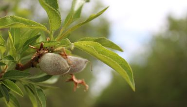 Considerations for Determining Which Almond Varieties to Plant