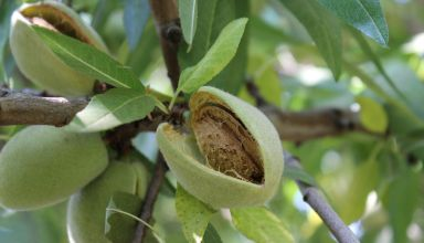 Almond forecast down